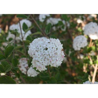 Spice Ball ColorChoice Viburnum 1 Gal. Korean Spice Shrub