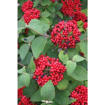 Red Balloon ColorChoice Viburnum - 4.5 in. Quart