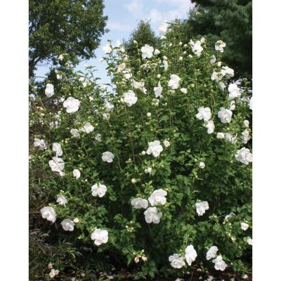 3 Gal. Chiffon White Rose of Sharon Hibiscus ColorChoice Shrub