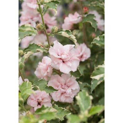 3 Gal. Sugar Tip Rose of Sharon Hibiscus ColorChoice Shrub