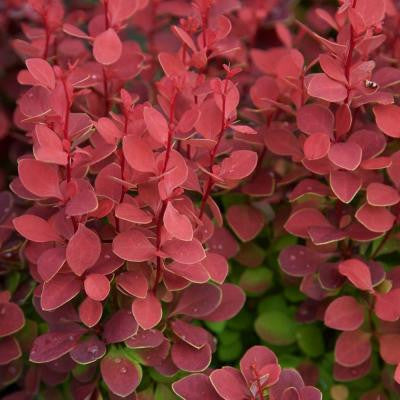 2.5 Qt. Orange Rocket Barberry