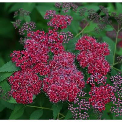 3 Gal. Double Play Red Spirea ColorChoice Shrub
