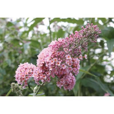 3 Gal. Inspired Pink Buddleia ColorChoice Butterfly Bush Shrub