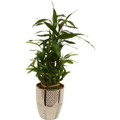 Lucky Bamboo in 5 in. Nadia White Pot