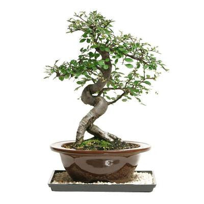 Outdoor Chinese Elm