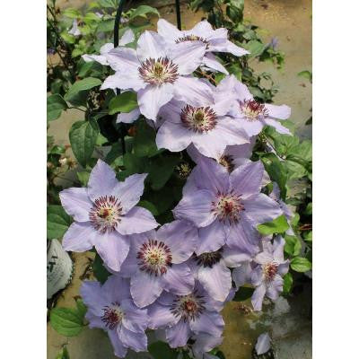1 Gal. Still Waters Clematis ColorChoice Vine