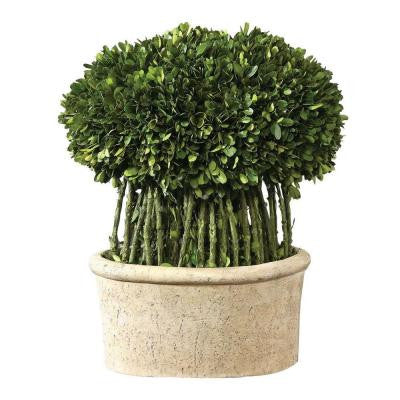 17 in. Preserved Boxwood Willow Topiary