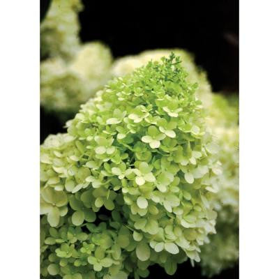 Limelight ColorChoice Hydrangea - 4.5 in. Quart