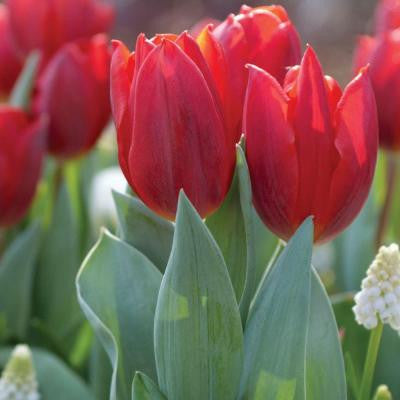 Tulip Couleur Cardinal Dormant Bulbs (50-Pack)
