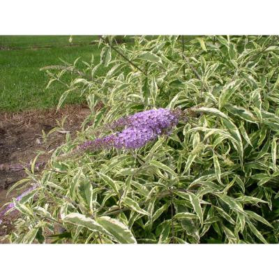 Summer Skies ColorChoice Buddleia 4.5 in. Quart
