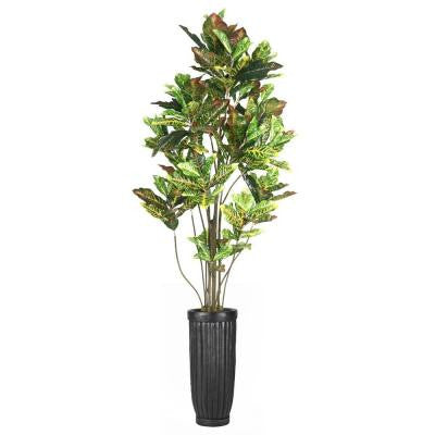 93 in. Tall Croton Tree with Multiple Trunks in Planter