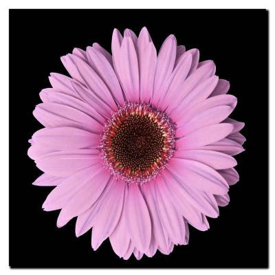 24 in. x 24 in. Pink Gerber Daisy Canvas Art