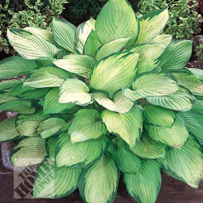Hosta Gold Standard Bare Root Dormant Plants (6-Pack)
