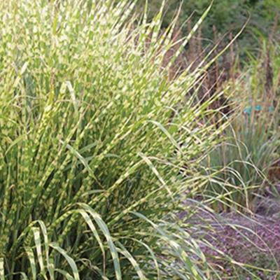 2 Gal. Gold Breeze Miscanthus