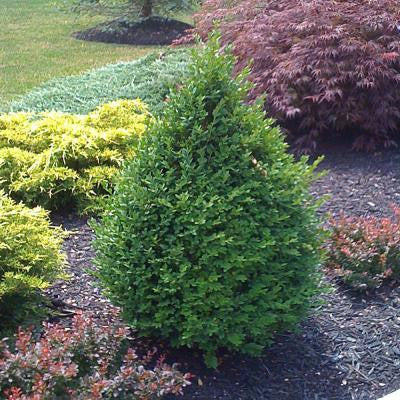 2 gal. Pyramidal Green Mountain Boxwood Shrub