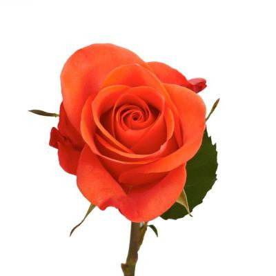 Terracotta Color Roses (100 Stems) Includes Free Shipping