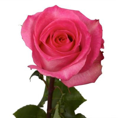 Pink Color Roses (250 Stems) Includes Free Shipping