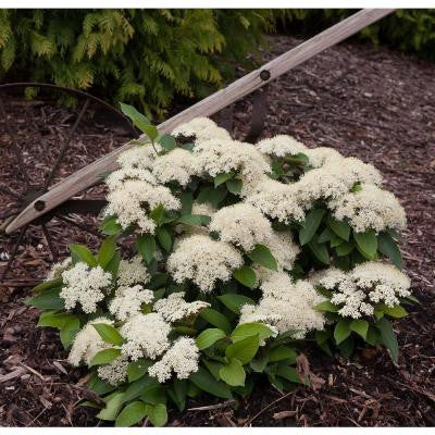 3 Gal. Lil Ditty Witherod Viburnum ColorChoice Shrub