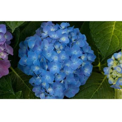 Let's Dance Blue Jangles ColorChoice Hydrangea - 1 gal. Re-Blooming Shrub