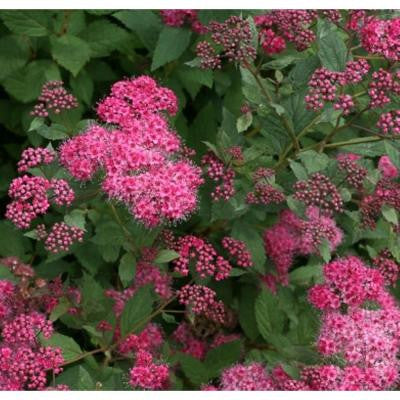 3 Gal. Double Play Pink Spirea ColorChoice Shrub