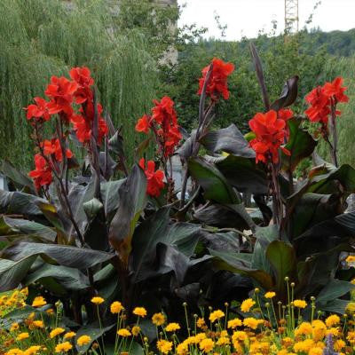 Black Knight Canna Roots (5-Pack)