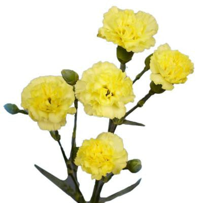 Yellow Mini Carnations (160 Stems - 640 Blooms) Includes Free Shipping