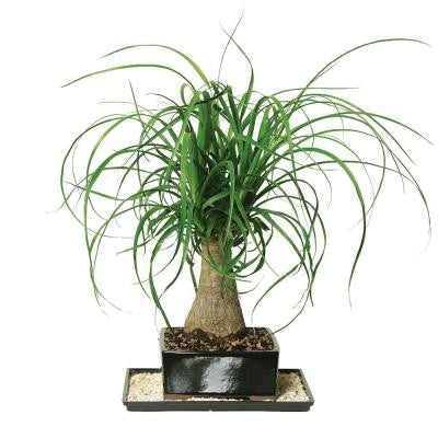 Ponytail Palm (Indoor)
