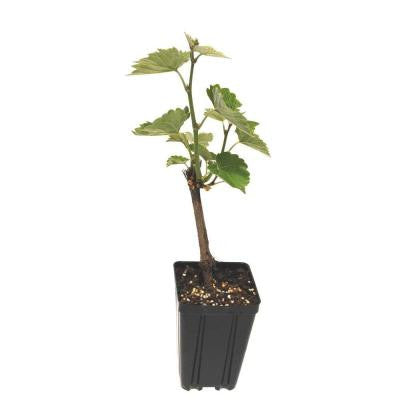 Cayuga Grape Fruit Bearing Potted Vine