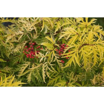 3 Gal. Lemony Lace Sambucus ColorChoice Elderberry Shrub