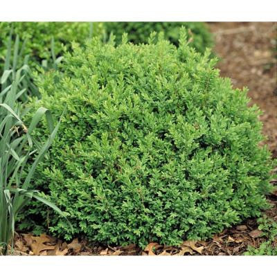3 Gal. North Star Boxwood Buxus ColorChoice Evergreen
