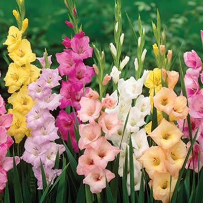 Gladiolus Pastel Mix Dormant Bulbs (55-Pack)