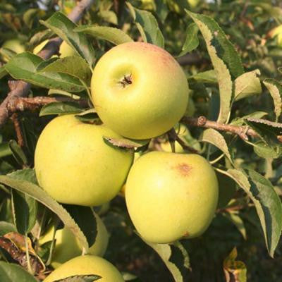 5 gal. 5 ft. Yellow Delicious Apple Fruit Tree