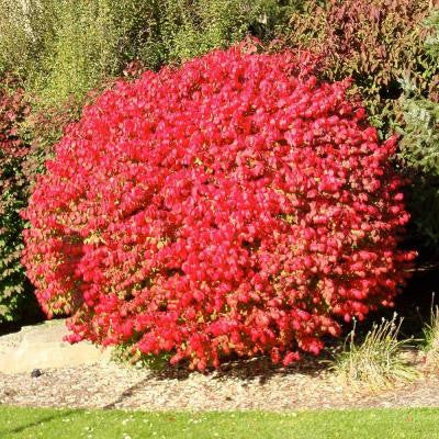 2 gal. Compacta Dwarf Burning Bush Shrub
