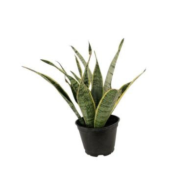 Sansevieria Laurentii in 6 in. Pot