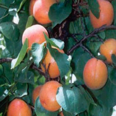 5 gal. 5 ft. Golden Sweet Apricot Tree