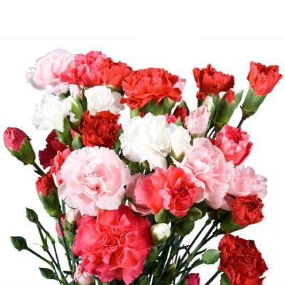Mother's Day Assorted Mini Carnations (160 Stems - 640 Blooms) Includes Free Shipping