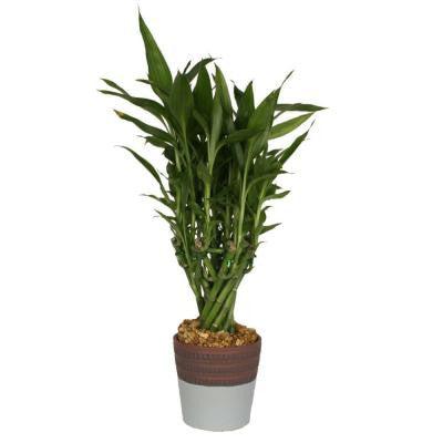 Medium Lucky Bamboo in 4 in. Sky Blue Jasmine Pot