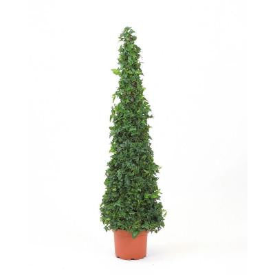 8 in. Ivy Slender Cone in Grower Pot