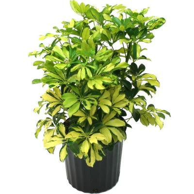 8-3/4 in. Schefflera Trinette in Pot