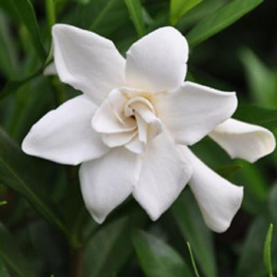 3 Gal. Frost Proof Gardenia