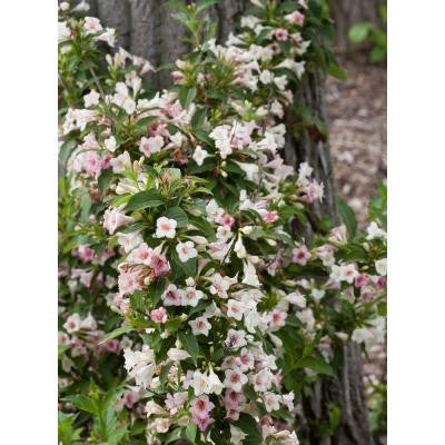 3 Gal. Sonic Bloom Pearl Re-Blooming Weigela ColorChoice Shrub