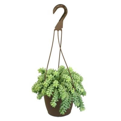 6 in. Hanging Basket Donkey Tails Plant