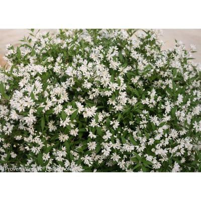 Yuki Snowflake Deutzia ColorChoice 4.5 in. Quart