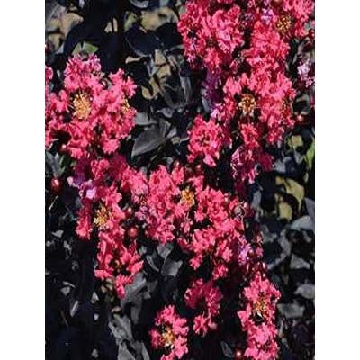 4 in. x 4 in. x 10 in. Crape Myrtle Midnight Magic Container