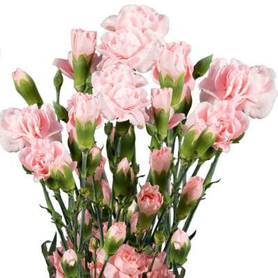 Pink Mini Carnations (160 Stems - 640 Blooms) Includes Free Shipping