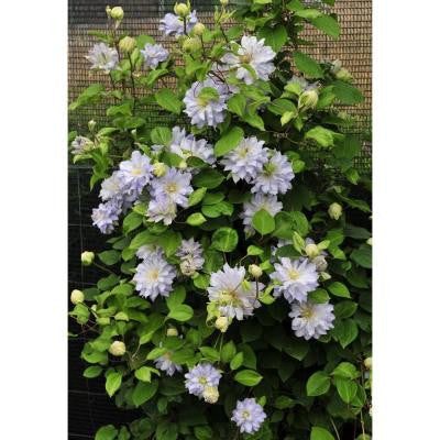 3 Gal. Diamond Ball Clematis ColorChoice Vine