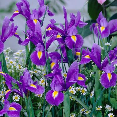 Dutch Iris Blue Magic Dormant Bulbs (120-Pack)