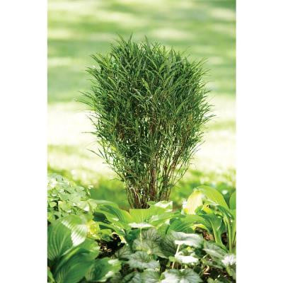 Fine Line ColorChoice Rhamnus - 4.5 in. Quart