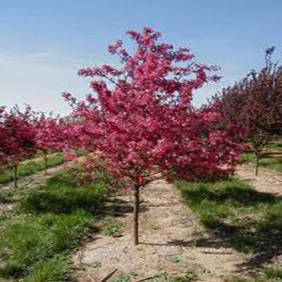 5 gal. 5 ft. Prairiefire Flowering Crabapple Tree