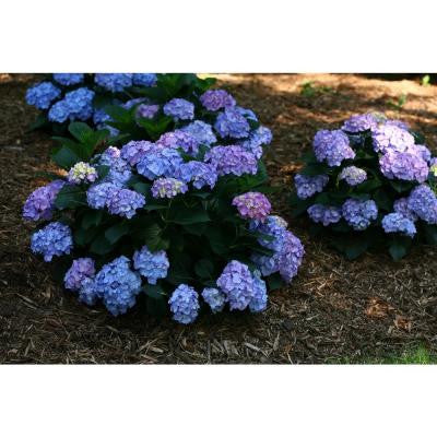 3 Gal. Let's Dance Blue Jangles ColorChoice Re-Blooming Hydrangea